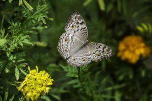 Bootcharter Rhodos - Schmetterling