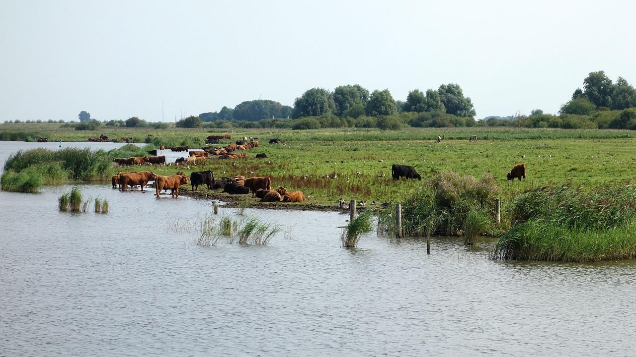 Wilde koeien aan het water in de natuur