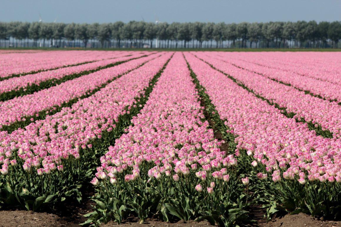 Bollenvelden met roze tulpen
