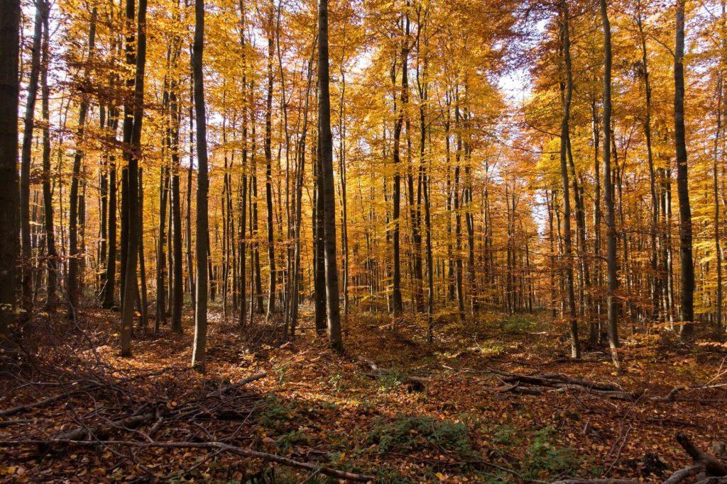 Żółte liście w lesie