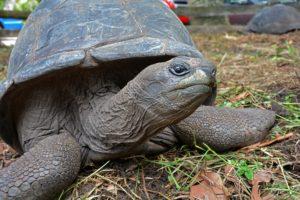 Seszele żółw