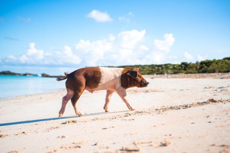 Pig Beach in the Exumas