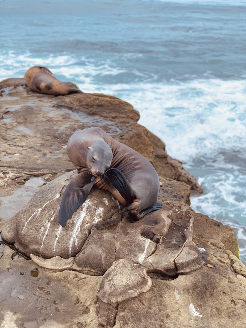 Wild seals on rocks in California